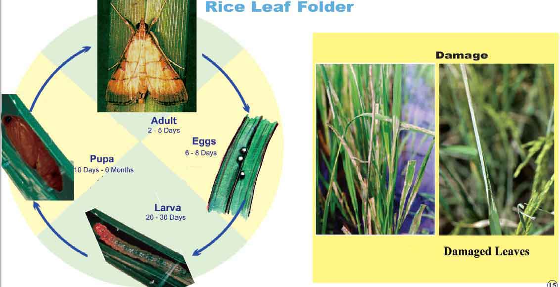 rice leaf folder thesis The green revolution has led to reduced genetic diversity  it has since become susceptible to both diseases, in addition to succumbing to rice leaf-folder.